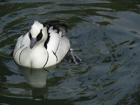 Duck, Bird, Water Bird