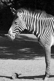 Zebra, Black, White, Black And White, Zoo