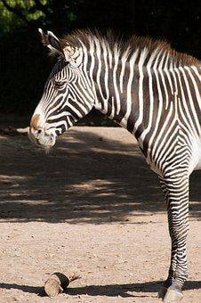 Zebra, Black, White, Zoo, Zebra Stripes, Striped
