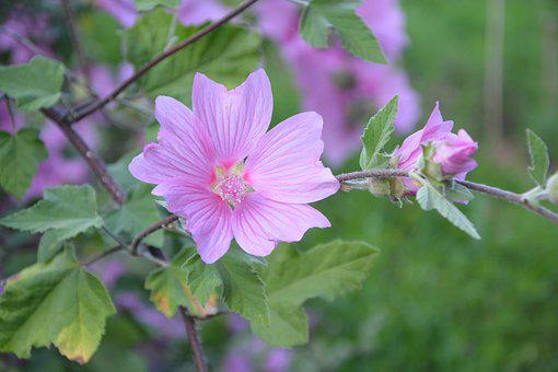 Hibiscus, Pink Flowers, Green Leaves, Color Pink, Plant