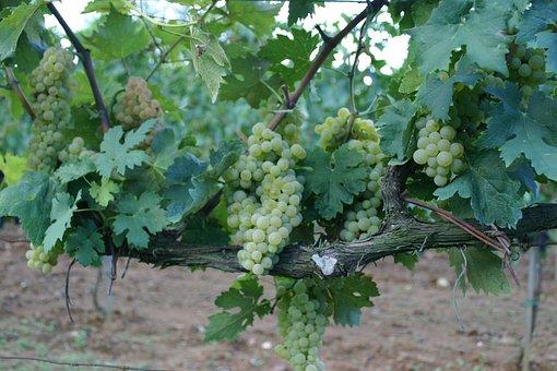 Grapes, Vineyard, Wine, Countryside