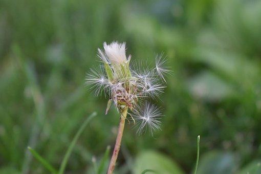 Dandelion, Weed, Flower