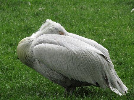 Pelican, Zoo, Bird, Feather, Water Bird