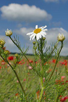 Genuine Chamomile, Close, Nature, Plant, Flora, Sky