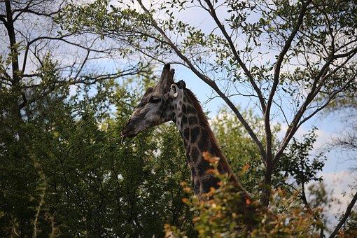 Giraffe, Victoria Falls National Park, Game Drive