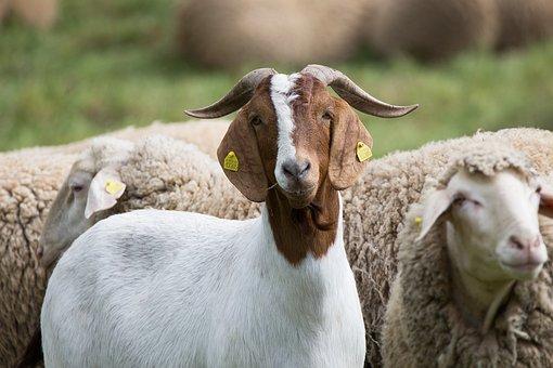 Goat, Animals, Pasture, Grass, Head, Animal, Nature