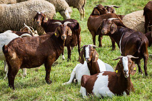 Billy Goat, Pasture, Flock, Mammals, Animal, Horns