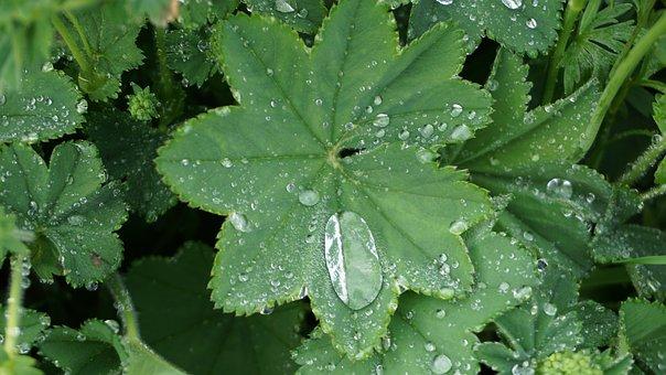 Frauenmantel, Dew, Leaves, Green, Drop Of Water, Nature