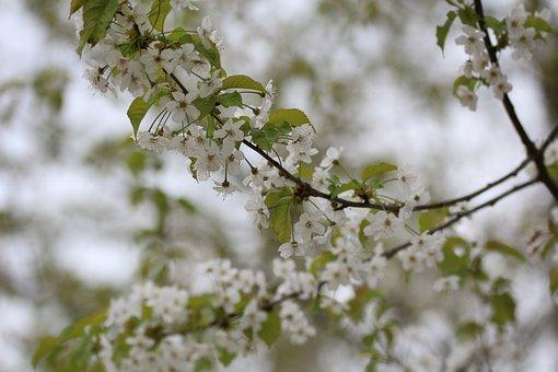 Cherry, Tree, Cherry Harvest, Blossom, Bloom, Nature