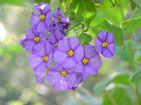 Flowering, Shrub, Mauve