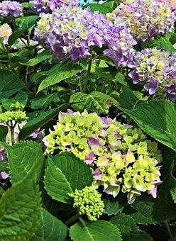Hydrangea, Ornamental Shrub, Flowers, Green, Violet