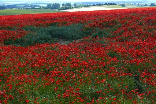 Field, Poppy, Wild, Romantic, Red, Nature, Bauer