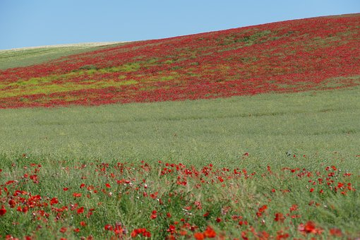 Perspective, View, Field, Poppy, Wild, Romantic, Red