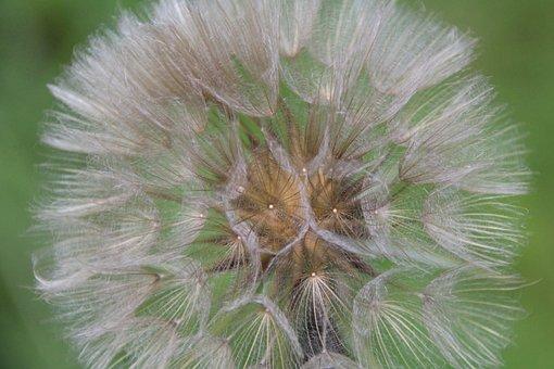 Dandelion, Screens, Plant, Flying Seeds
