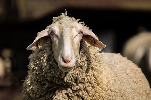 Sheep, Wool, Animal, Animals, Agriculture, Sheepskin