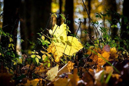 Autumn, Light, Leaf, Tree, Forest, Golden Autumn