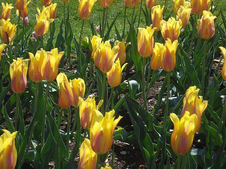 Tulips, Yellow, Floral, Tulip Garden, Bloom, Spring