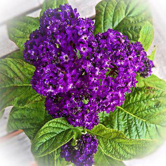 Vanilla Flower, Heliotrope, Potted Plant, Flower Purple