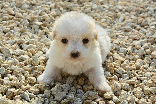 Cotton Tulear, Age One Month, Dog, Pet, Hair Long