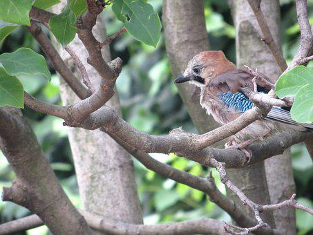 Jay, Oak Trees, Bird, Petit, Sparrow, Animal, Feathers