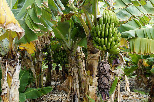 Bananas, Banana Shrub, Banana Plantation, Banana