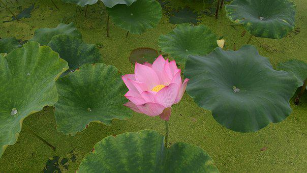 Lotus, Pond, Country, Be Quiet, Pure