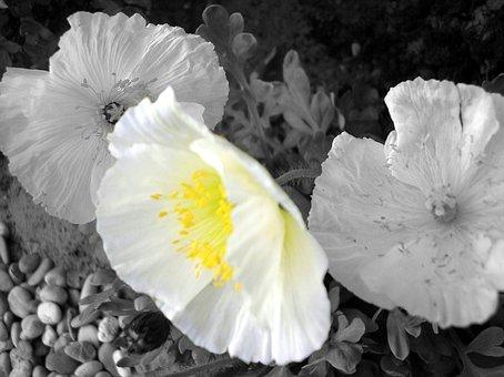 White Poppy, Poppy Flower, Poppy, Black And White