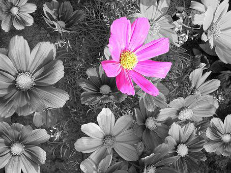 Cosmea, Blossom, Bloom, Cosmos, Black And White