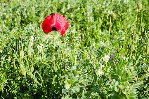 Klatschmohn, Poppy Flower, Poppy, Blossom, Bloom, Red