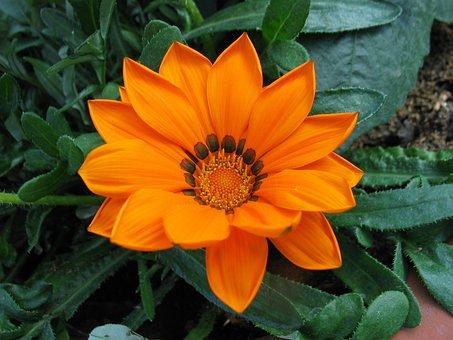 Gazanie, Summer Flower, Orange, Blossom, Bloom, Plant