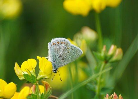Butterfly, Restharrow's Blue, Butterflies, Common Blue