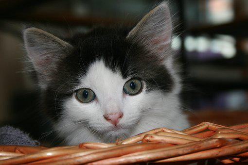 Cat, Kitten, Animals, Eyes, Hair, Petit, Feline, Cute