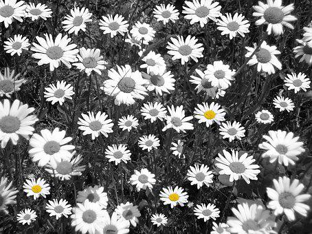 Daisies, Flower Meadow, Black And White, Flowers