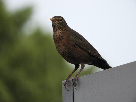 Blackbird, Female, Bird, Species, Garden, Brown