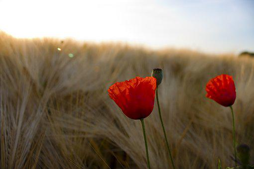 Field, Klatschmohn, Color, Plant, Colorful, Grain