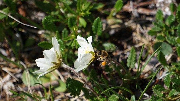Hummel, Pollen, Blossom, Bloom, Close, Nature, Insect
