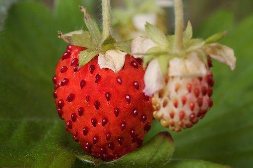Fragaria Vesca, Fruits, Wild Strawberries, Strawberries