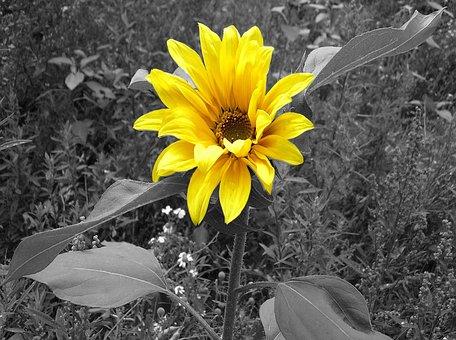 Sun Flower, Black And White, Yellow Flower
