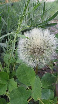 Weed, Wishes, Dandelion, Plant, Grass