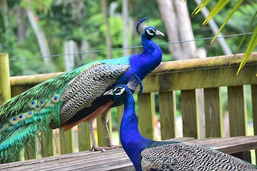 Peacock, Zoo, Bird, Animal, Wildlife, Color, Feather