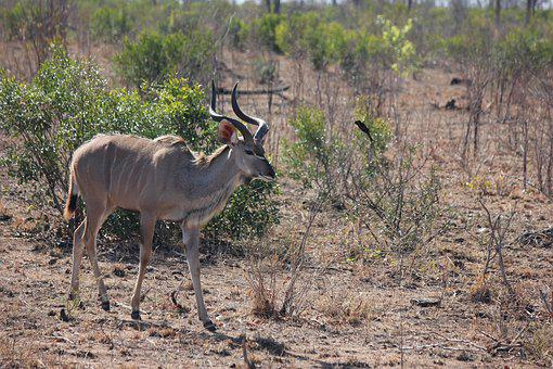 Kudu, Bull, Male, Animal, Antelope, Mammal, Wild