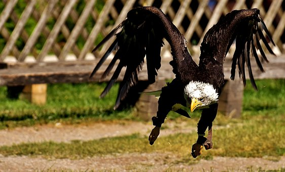 Adler, Bald Eagles, Bird, Raptor, Bald Eagle
