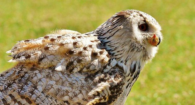 Owl, Prey, Eat, Bird, Feather, Eagle Owl, Animals