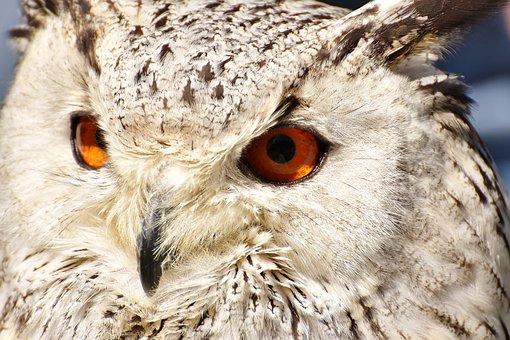 Snowy Owl Bubo Scandiacus, Bird, Feather, Eagle Owl