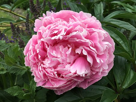 Peony, Blossom, Flower, Floral, Pink, Spring, Nature