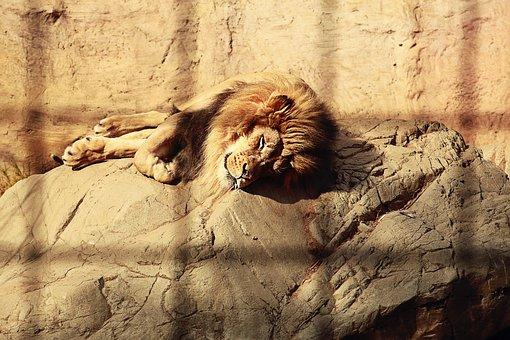 Lion, Caged, Sleeping, Mane, Endangered, Fur, Mammal