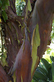 Arbutus Canariensis, Tree, Canary Islands, Endemic
