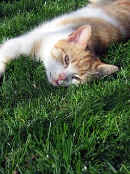 Cat, Tomcat, Grass, Peace