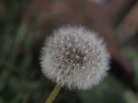 Dandelion, Garden, Meadow, Grassland Plants