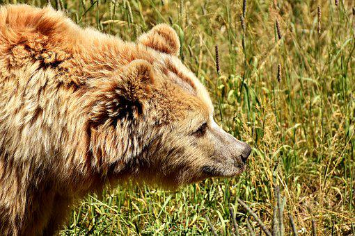 European Brown Bear, Bright Coat, Blond, Brown Bear